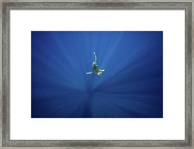 An Oceanic Whitetip Shark Swims Framed Print by Andy Mann