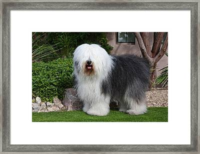 An Old English Sheepdog Standing Framed Print