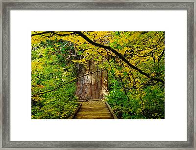 An Old Growth Douglass Fur In The Grove Of The Patriarches Mt Rainer National Park Framed Print