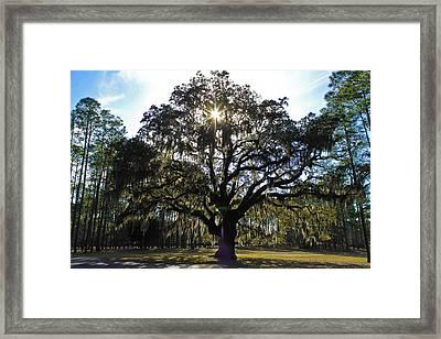 An Old Oak Tree Framed Print