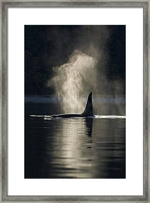An Orca Whale Exhales Blows Framed Print by John Hyde