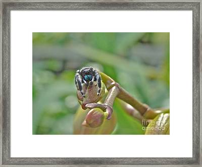 An Orchid For M'lady - Jumping Spider - Phidippus Audax Framed Print by Mother Nature