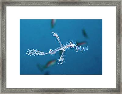 An Ornate Ghost Pipefish Framed Print by Scubazoo