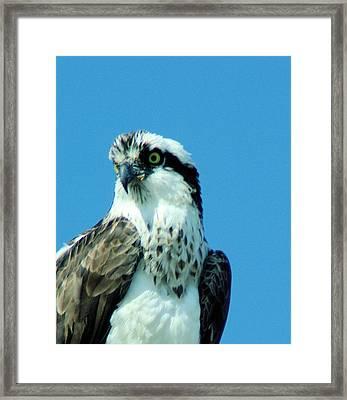 An Osprey Portrait Framed Print by Jeff Swan