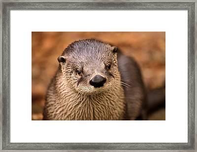 An Otter Portrait Framed Print by Joshua McCullough