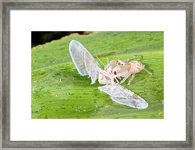 An Unusually Pallid Jumping Spider Framed Print