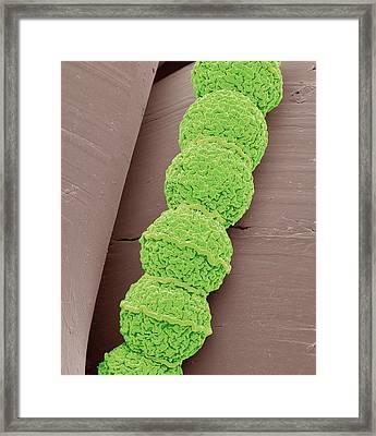 Anabaena Algae Framed Print