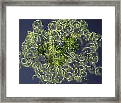 Anabaena Cyanobacteria Framed Print