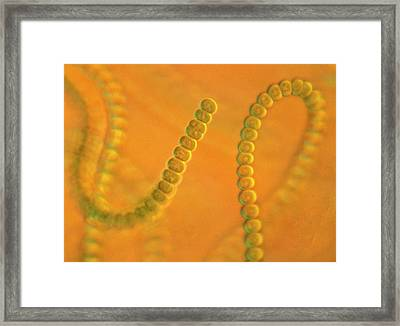 Anabaena Sp. Framed Print