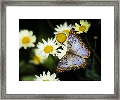 Anartia Jatrophae Framed Print