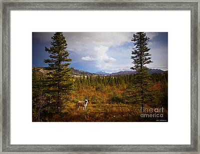 Anatolian Shepherd Framed Print by Chris Heitstuman