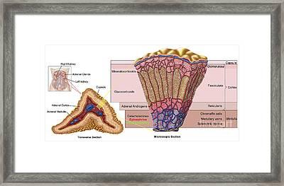 Anatomy Of Adrenal Gland, Cross Section Framed Print