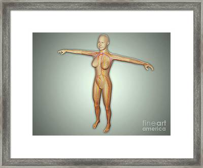 Anatomy Of Female Body With Arteries Framed Print by Stocktrek Images