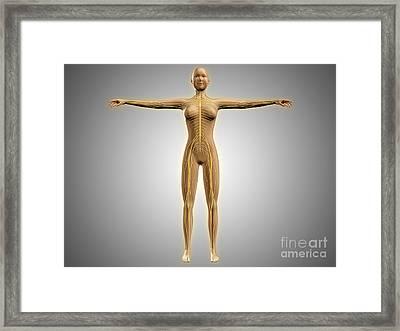 Anatomy Of Female Body With Nervous Framed Print