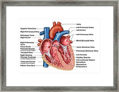 Anatomy Of Heart Interior, Frontal Framed Print