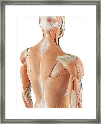 Anatomy Of Human Back Framed Print by Sciepro