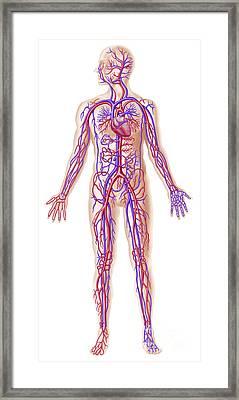 Anatomy Of Human Circulatory System Framed Print by Leonello Calvetti