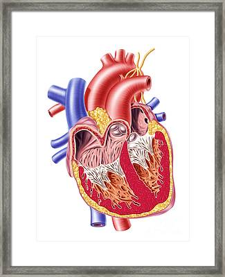 Anatomy Of Human Heart, Cross Section Framed Print by Leonello Calvetti