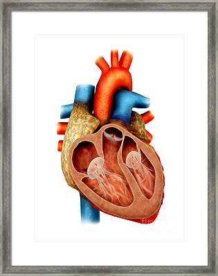 Anatomy Of Human Heart, Cross Section Framed Print by Stocktrek Images