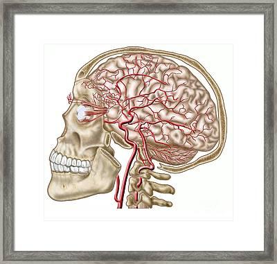 Anatomy Of Human Skull, Eyeball Framed Print by Stocktrek Images