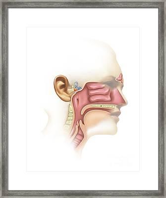 Anatomy Of Inner Ear And Sinuses Framed Print