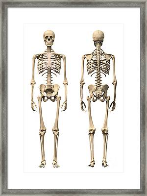 Anatomy Of Male Human Skeleton, Front Framed Print by Leonello Calvetti