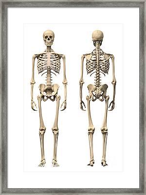 Anatomy Of Male Human Skeleton, Front Framed Print