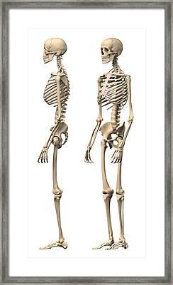 Anatomy Of Male Human Skeleton, Side Framed Print by Leonello Calvetti