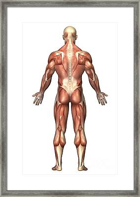 Anatomy Of Male Muscular System, Back Framed Print by Stocktrek Images