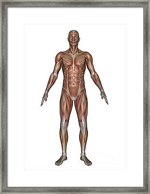 Anatomy Of Male Muscular System, Front Framed Print by Elena Duvernay