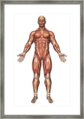 Anatomy Of Male Muscular System, Front Framed Print by Stocktrek Images