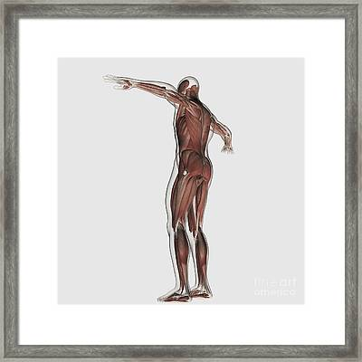 Anatomy Of Male Muscular System Framed Print by Stocktrek Images