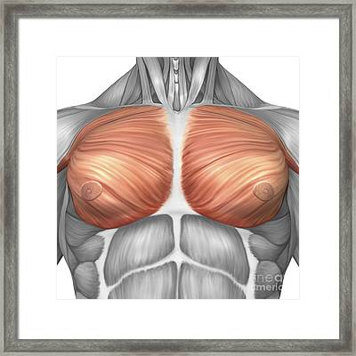 Anatomy Of Male Pectoral Muscles Framed Print by Stocktrek Images