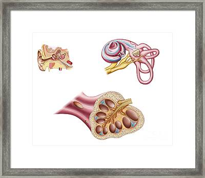 Anatomy Of The Cochlear Duct Framed Print by Stocktrek Images