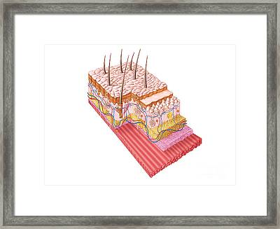 Anatomy Of The Human Skin Framed Print by Stocktrek Images