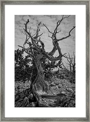 Ancient Bristlecone Pine Framed Print