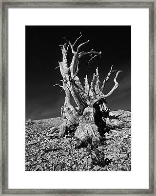 Ancient Bristlecone Pine Tree Clings Framed Print by Jerry Ginsberg
