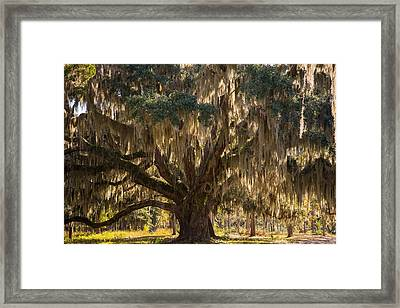 Ancient Oak 1 Framed Print
