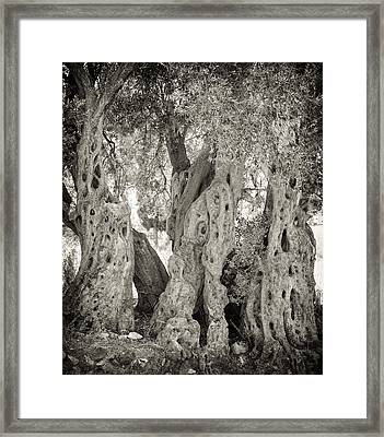 Ancient Olive Framed Print by Paul Cowan