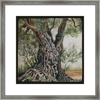 Ancient Olive Tree Trunk Framed Print