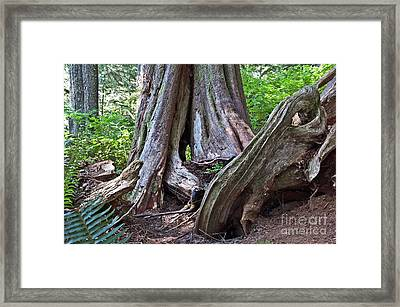 Ancient Rainforest Cedar Trees Framed Print