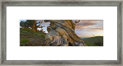 Ancient Twisted Foxtail Pine Trunk Framed Print