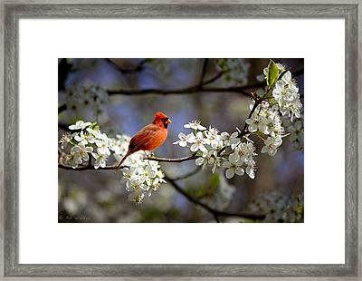 And A Carninal In A Pear Tree Framed Print