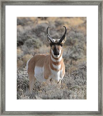 ...and The Antelope Play Framed Print