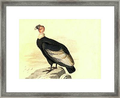 Andean Condor Framed Print by Collection Abecasis