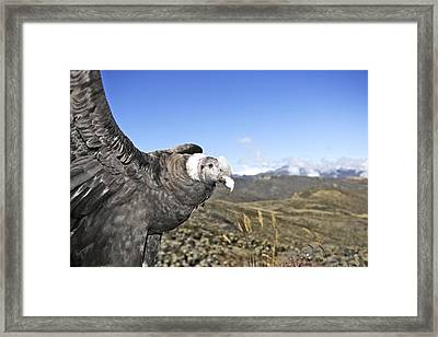 Andean Condor Framed Print