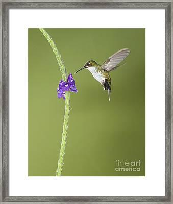 Andean Emerald Hummingbird Framed Print by Dan Suzio