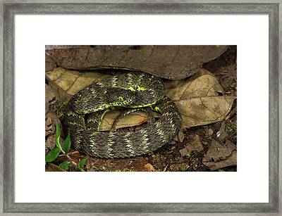 Andean Forest-pitviper(bothriopsis Framed Print by Pete Oxford