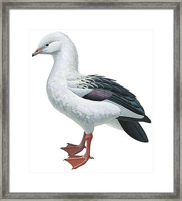 Andean Goose Framed Print by Anonymous