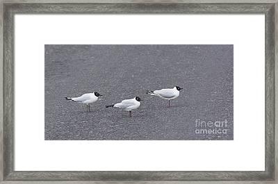 Andean Gulls Framed Print